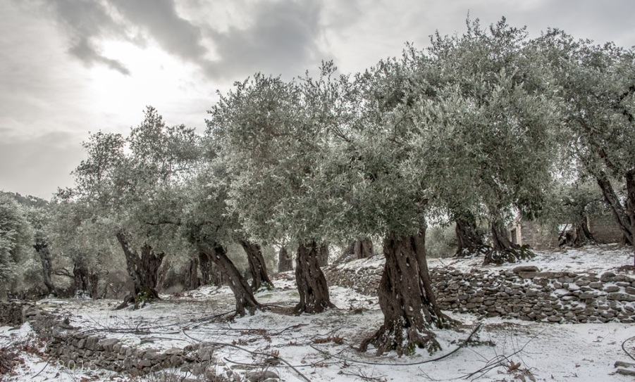 Thassos-Wintertime Olive Trees Mariesx
